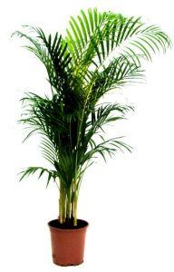 Kentia Palmboom (v.a. 10 stuks)-1220910